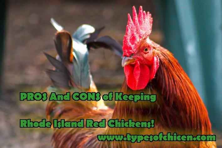 KEEPING RHODE ISLAND RED CHICKENS