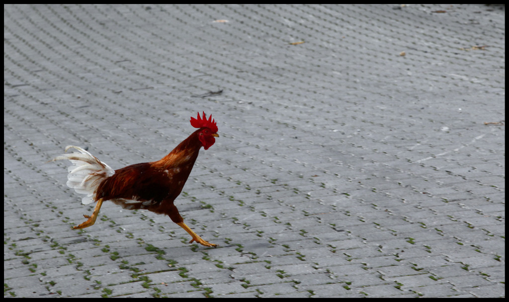 Why Are Some Roosters Aggressive?