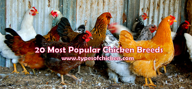 20 Most Popular Chicken Breeds Great Addition To Your