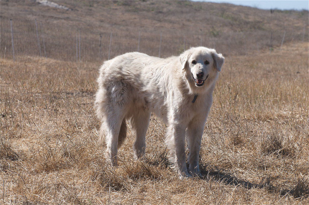 Akbash - best farm dogs for protection
