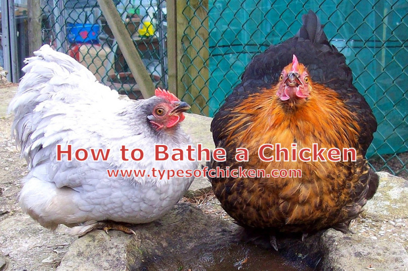 How to Bathe a Chicken Properly! — Types of Chicken