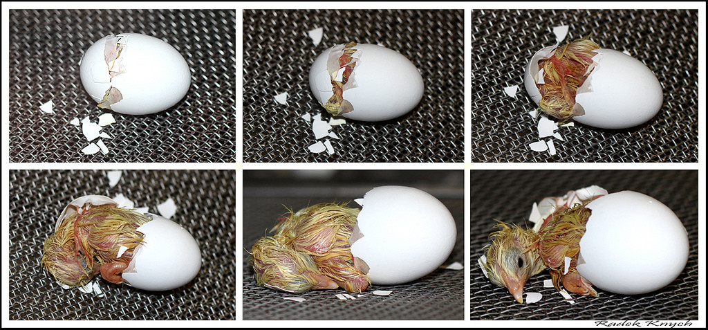 Hatching Your Own Eggs