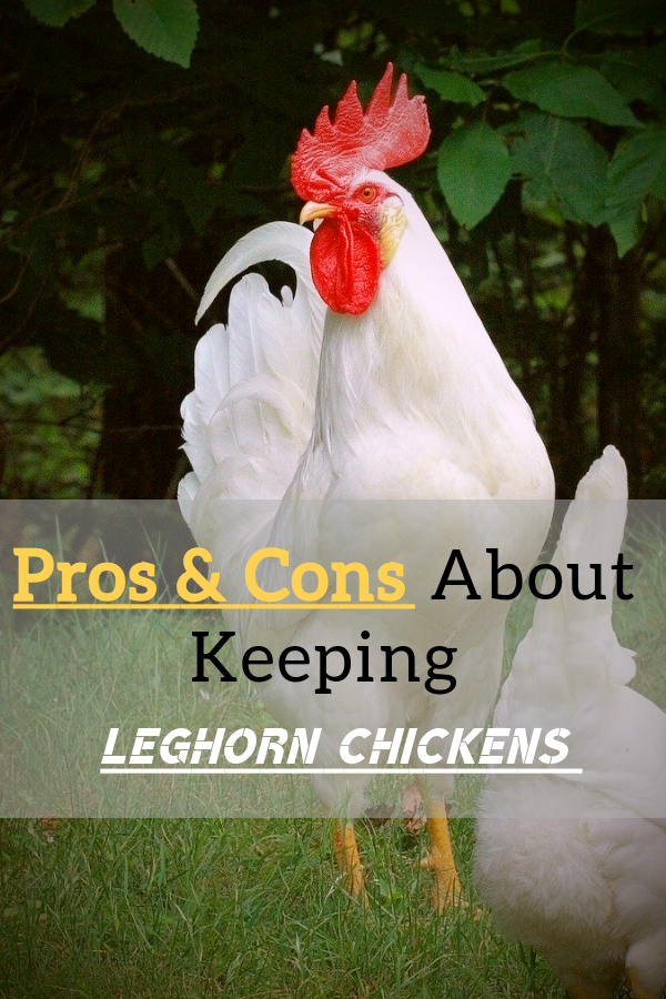 Pros-Cons-About-Keeping-Leghorn-Chickens