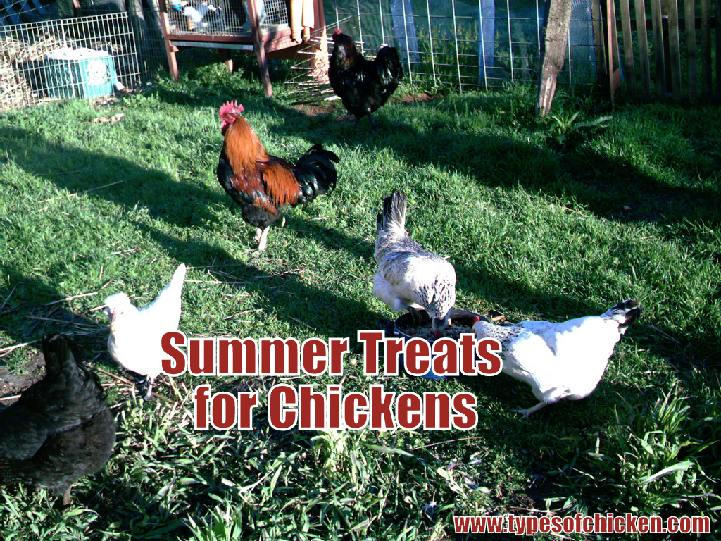 Summer Treats for Chickens