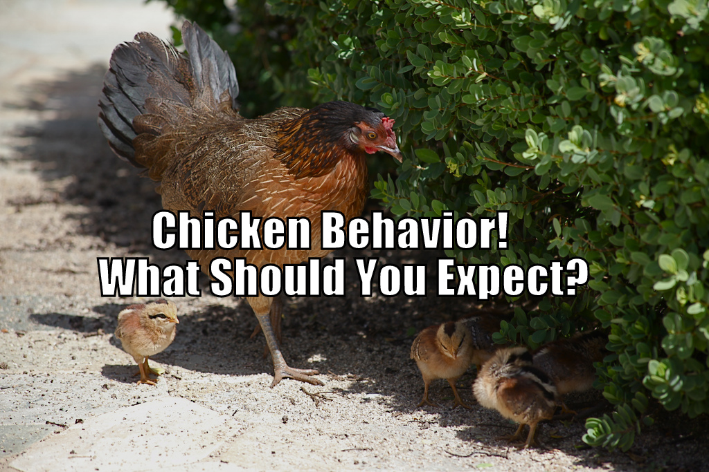 Chicken Behavior - What Should You Expect