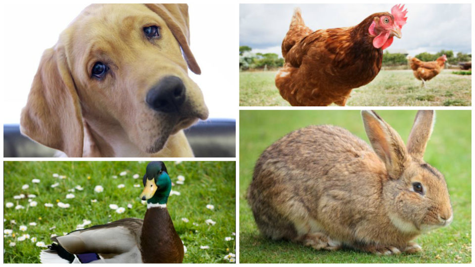 Chicken Friendly Animals