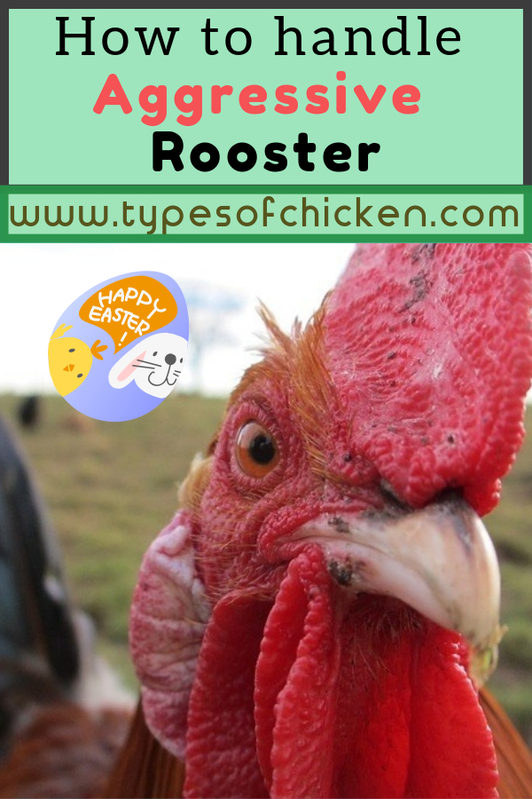 We have received a lot of e-mail concerning this particular questions. So, for today`s article, we would like to make it easier for every chicken keeper to handle their aggressive rooster properly.  #rooster #chickens #diy