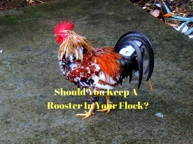 Keep A Rooster In Your Flock