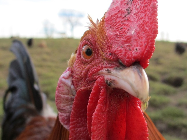 what to do with an aggressive rooster