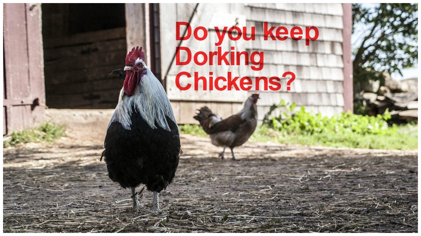Dorking Chicken