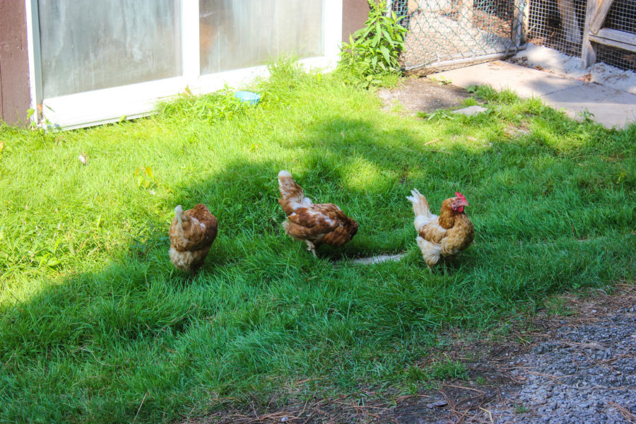 Gardening for your chickens