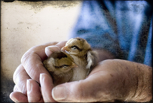 raising baby chickens after hatching