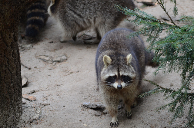 Chicken Predators - Raccoons