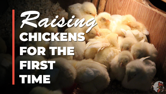 raising chickens for the first time