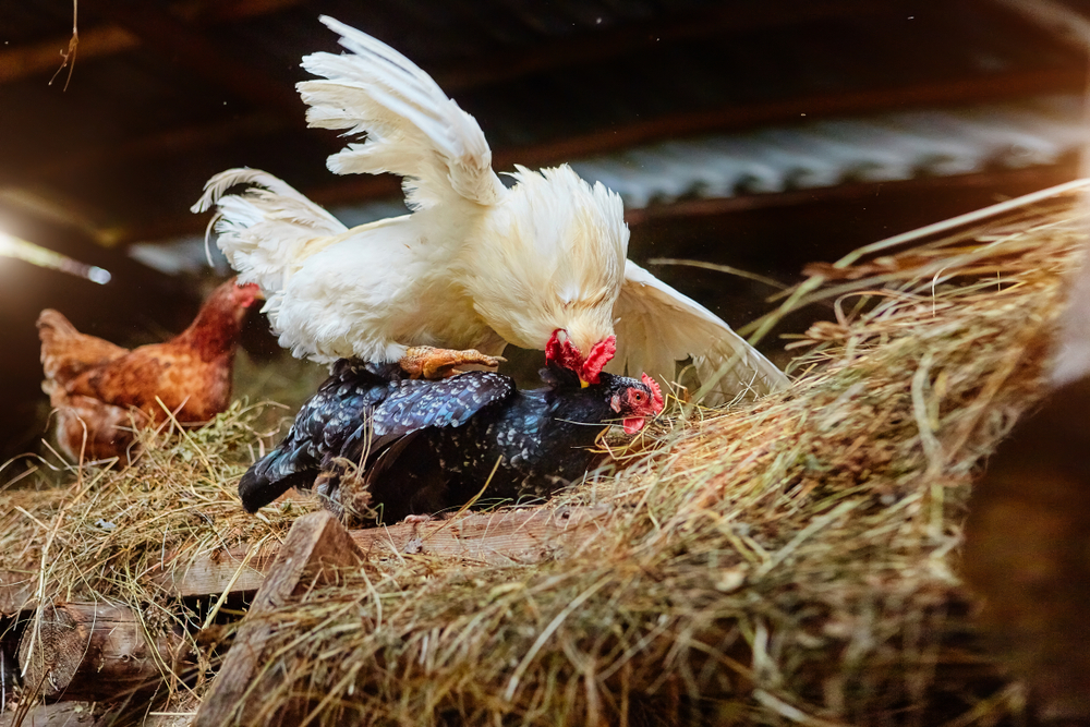 Hens also have a pecking order, from alpha hen to the lowest of the low. If you just have a couple of older roosters, the alpha hen is lower than all of them.