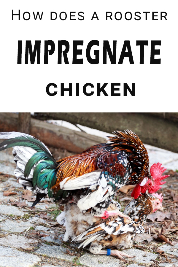 How do chickens have sex? First things first, a rooster does not impregnate a hen. Hens do not get pregnant, they lay eggs which can be fertile or not.
