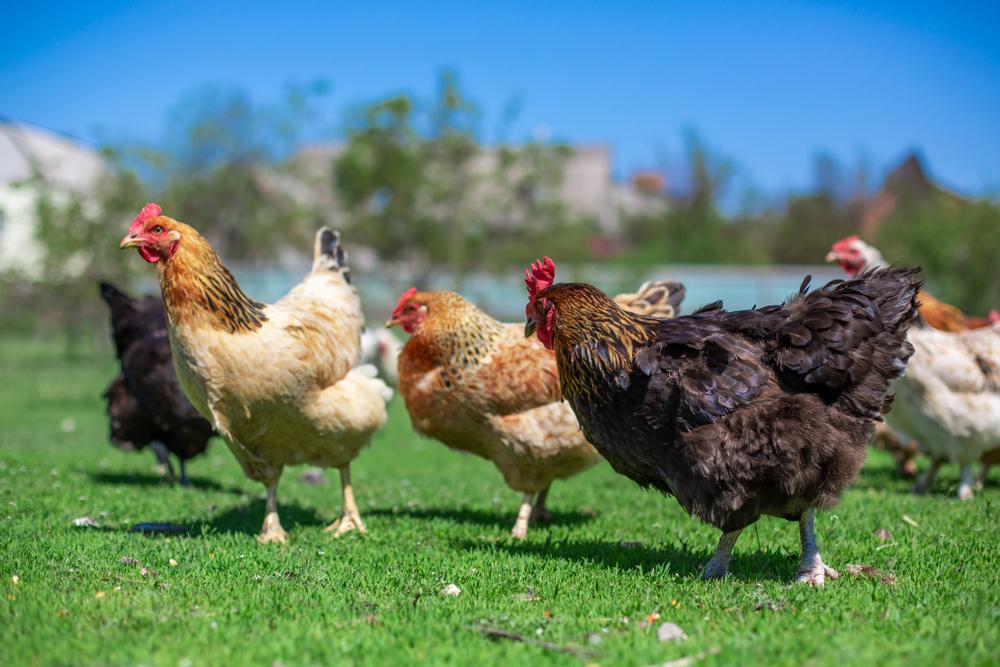Raising Free Range Chickens