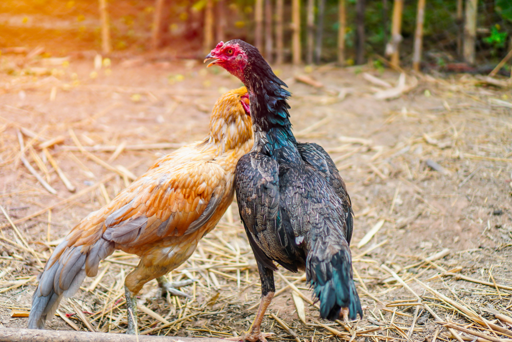 Chickens are not people. They are not even mammals. They are flock animals, and their behavior is governed by instincts.