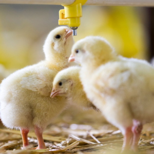 The hen's body forms an egg around the fertilized ovum. Once the shell of the egg has hardened it is laid in a nest.