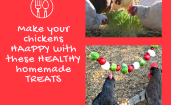 Make your chickens HAPPY with these HEALTHY homemade TREATS