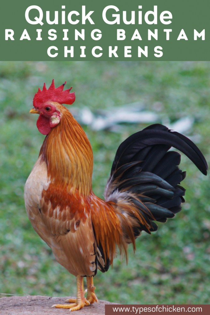 The small size and amenable attitudes of Bantam chickens make them a good choice to keep even for those with small yards.