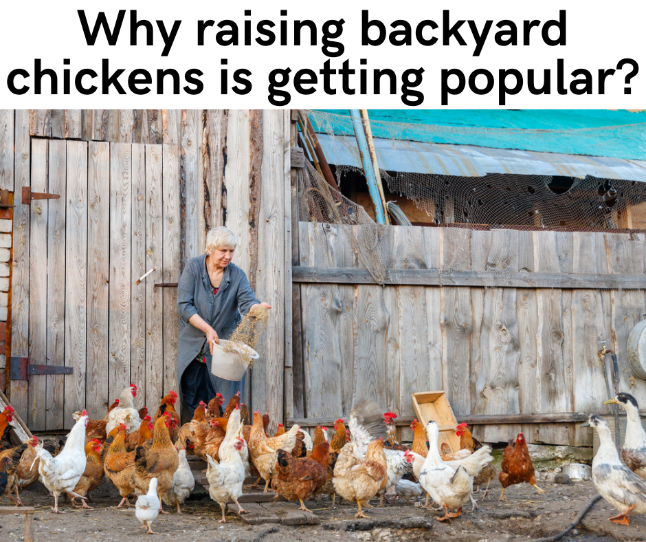 Why raising backyard chickens is getting popular?