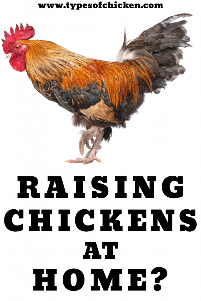 For those who are just new to the backyard chicken raising endeavor, it would be a good idea to ask friends who are already into raising backyard chickens or the pet store which type of breed is suitable to raise at home.