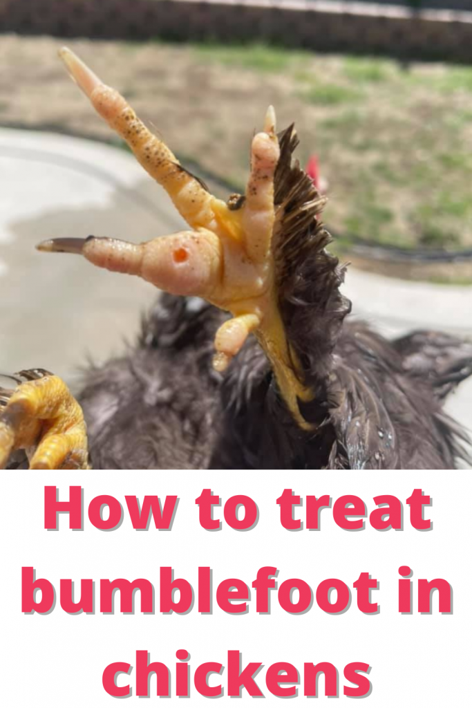 If your chicken is limping, has lesions, brown, or black scabs on the bottom of their feet, your bird most likely has Bumblefoot.
