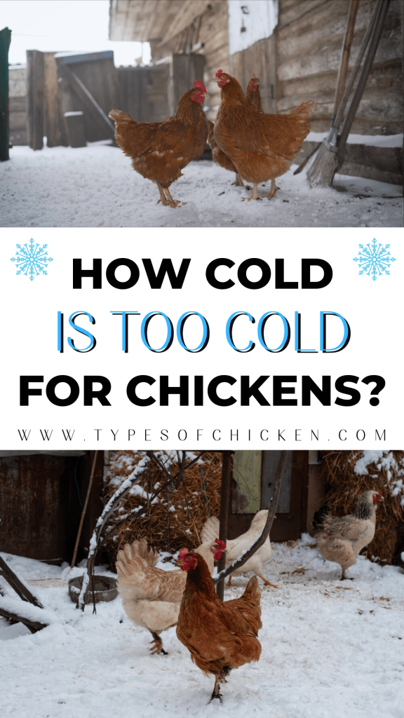 It is not easy to determine when the outside temperature becomes too cold for chickens. The average, or optimal, temperature for chickens is between 50 and 60 degrees Fahrenheit. Chickens can be subjected to colder temperatures, but if it is below freezing they will need a warmer space indoors or outside in order to stay healthy.