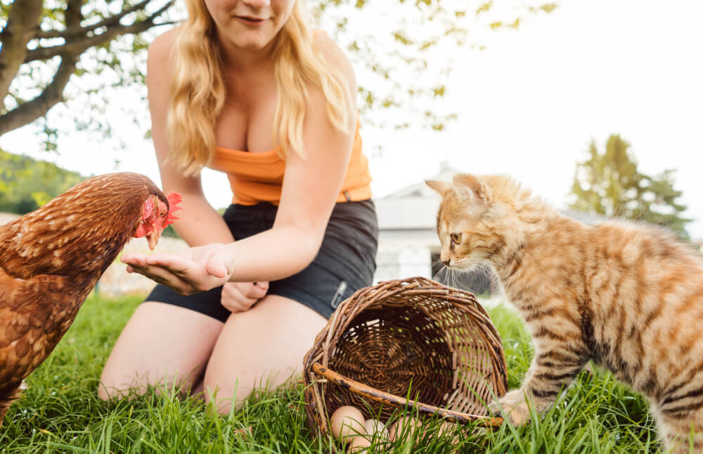 Can chickens eat dry cat food?