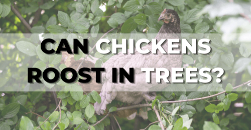 Can chickens roost in trees?