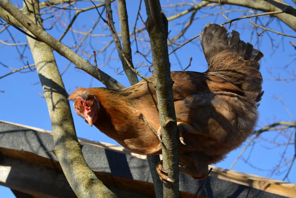 Chicken roosting on tree